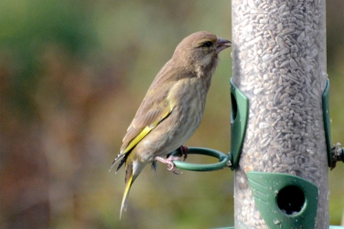 greenfinch november