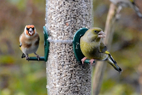 greenfinch on new feeder