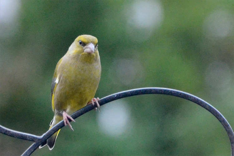 greenfinch on pole