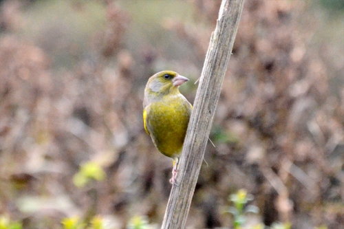 greenfinch on stalk