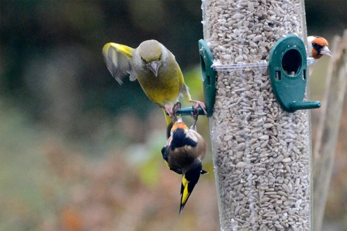greenfinch threateningf goldfinch at new feeder