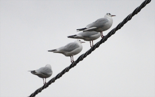 gulls on wire