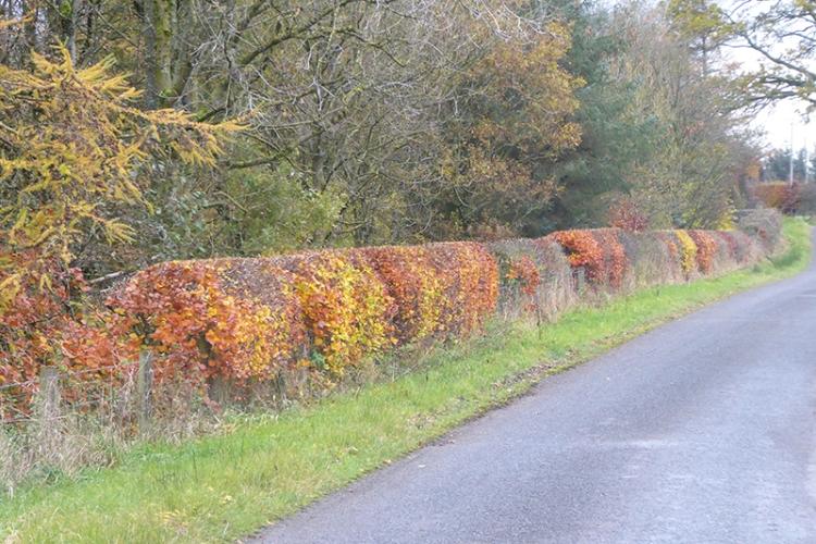 hedge mossknowe