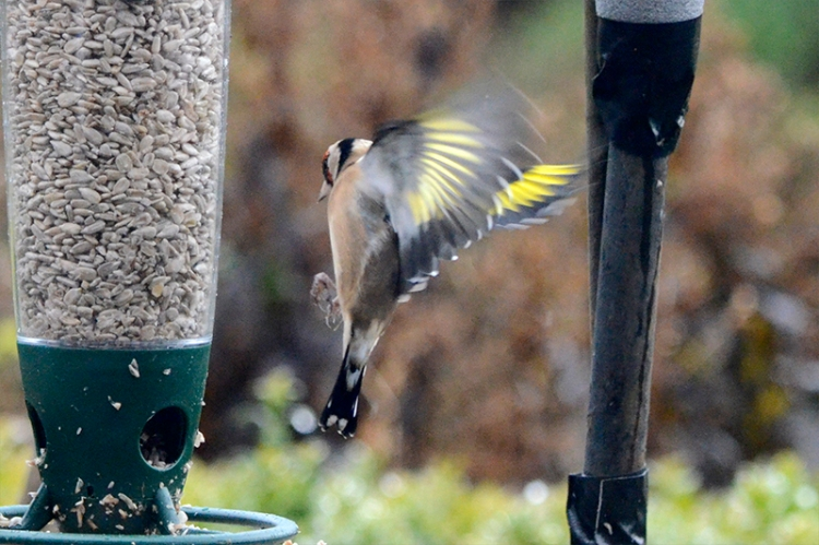 incoming goldfinch 2