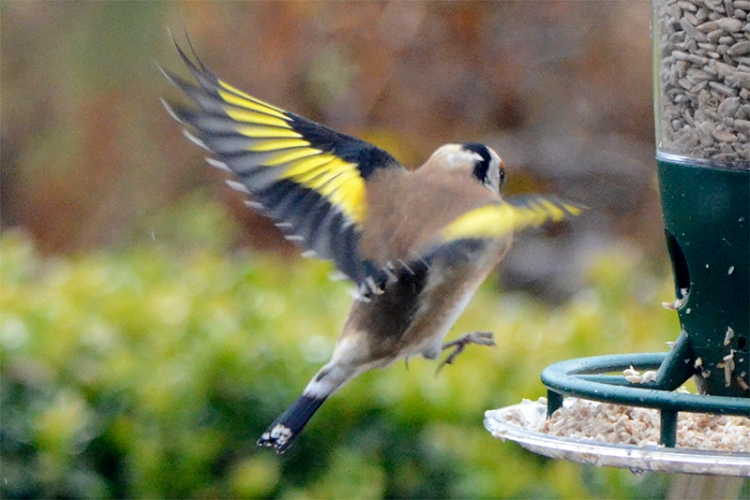 incoming goldfinch 3