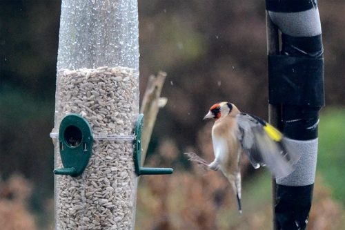 incoming goldfinch flaps up