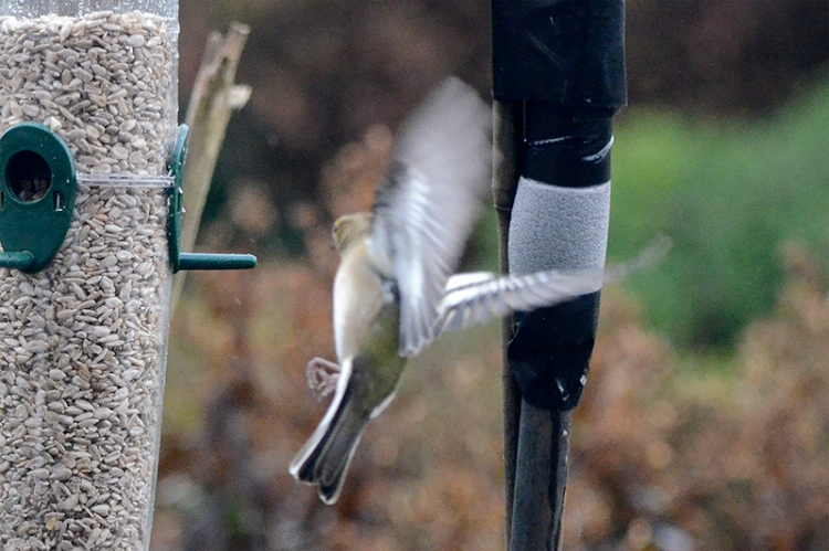incoming goldfinch
