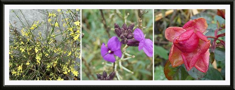 jasmine, wallflower, rosy cheeks