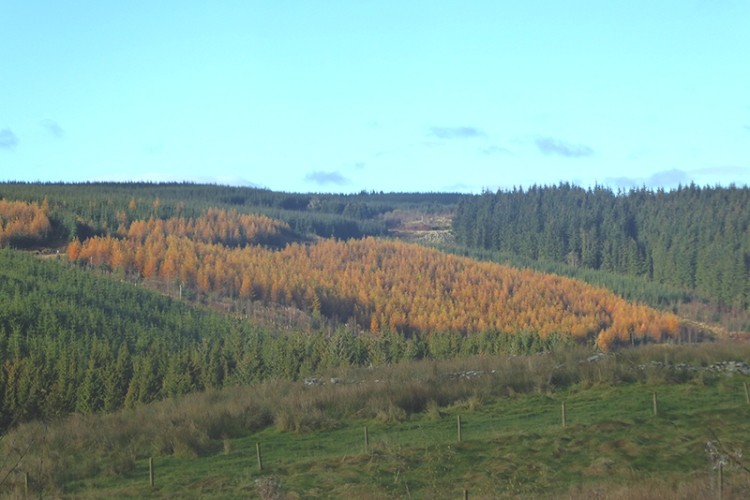 larch plantation