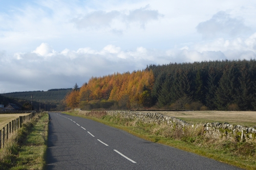 larches at Bigholms