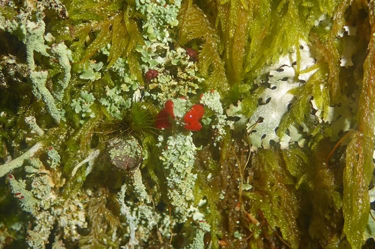 lichen with red
