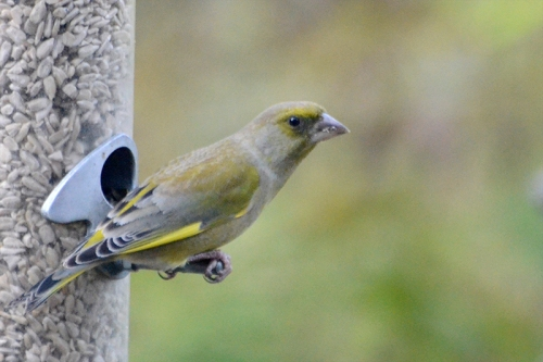lone greenfinch