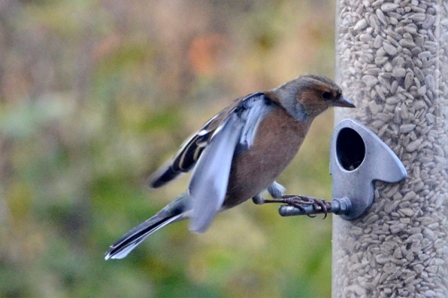 nearly flying chaffinch