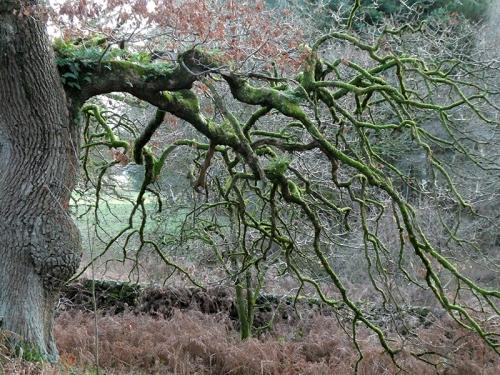 oak branch mossy