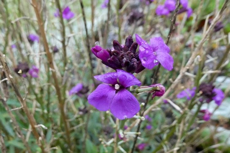 perennial wallflower late november