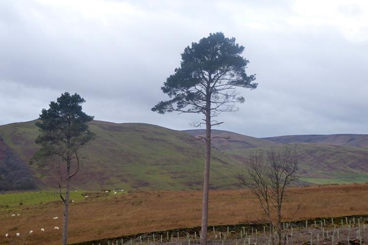 pine tree Copshaw road