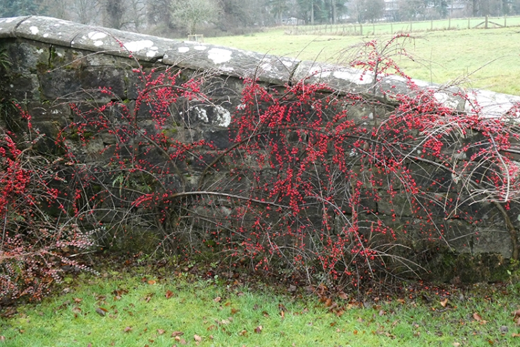 red berries lodge walks