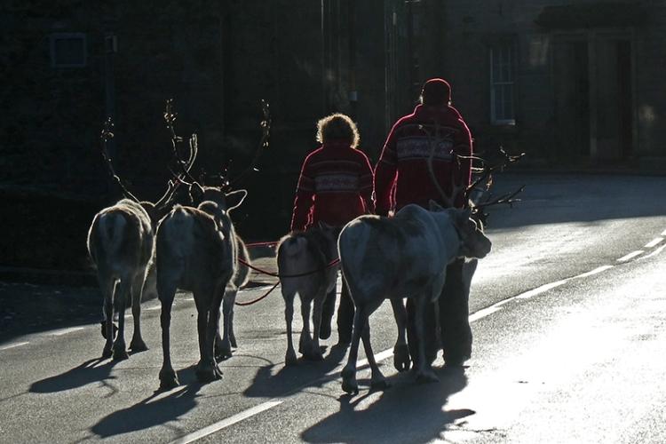 reindeer going to the Buck