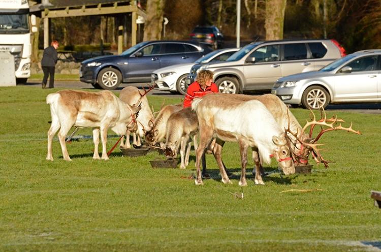 reindeer on kilngreen