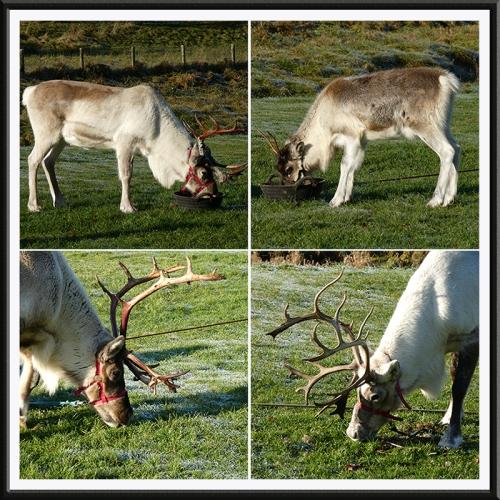 reindeer panel