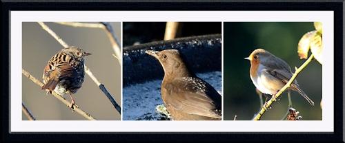 robin dunnock blackbird