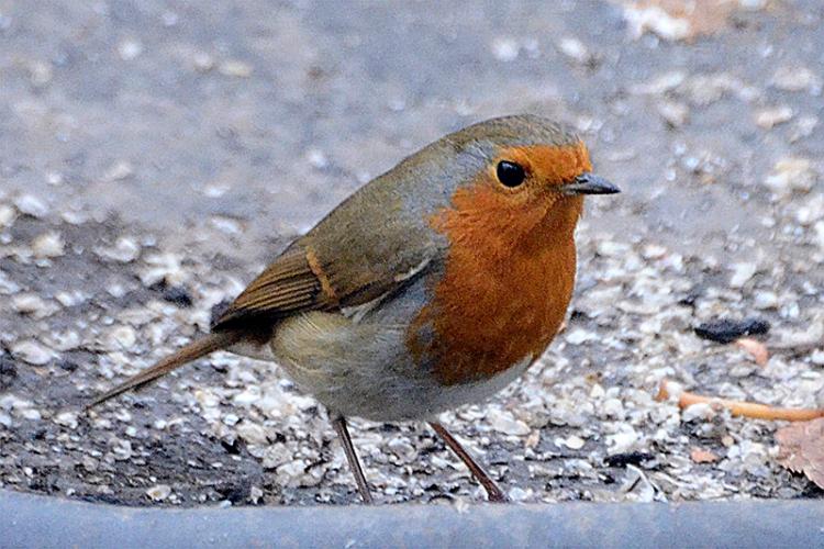 robin on grey day