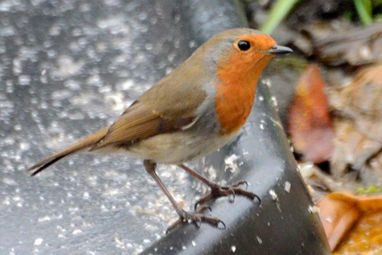 robin on ground