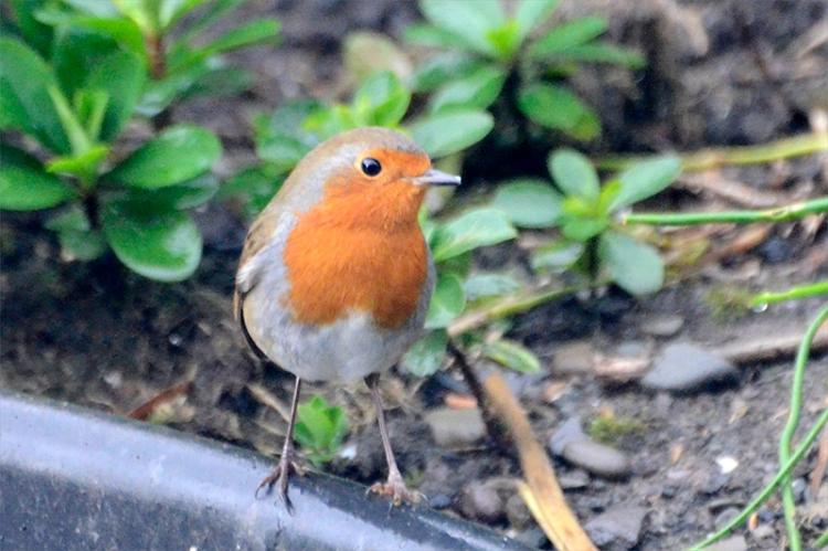 robin under new feeder