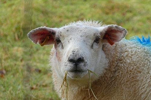 sheep having lunch