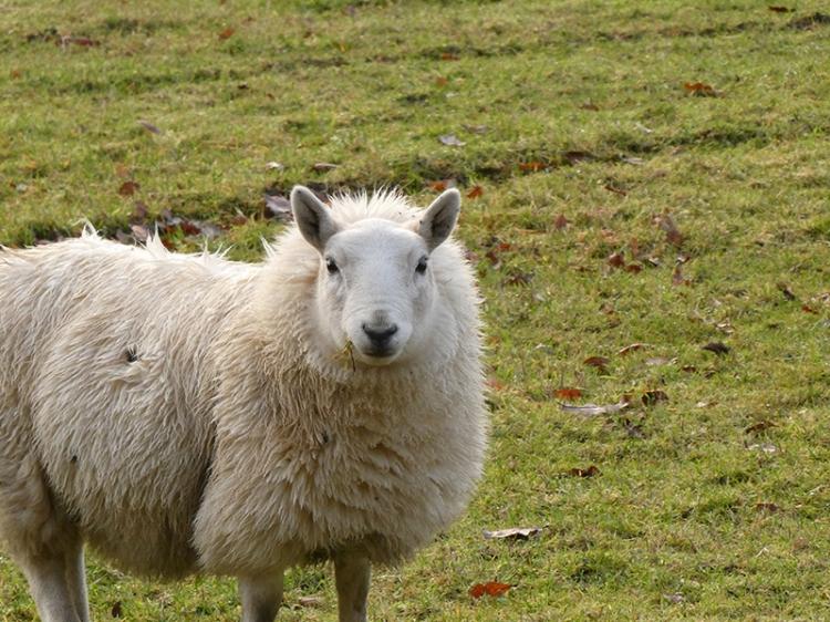 sheep murtholm