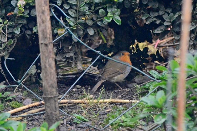 shy robin