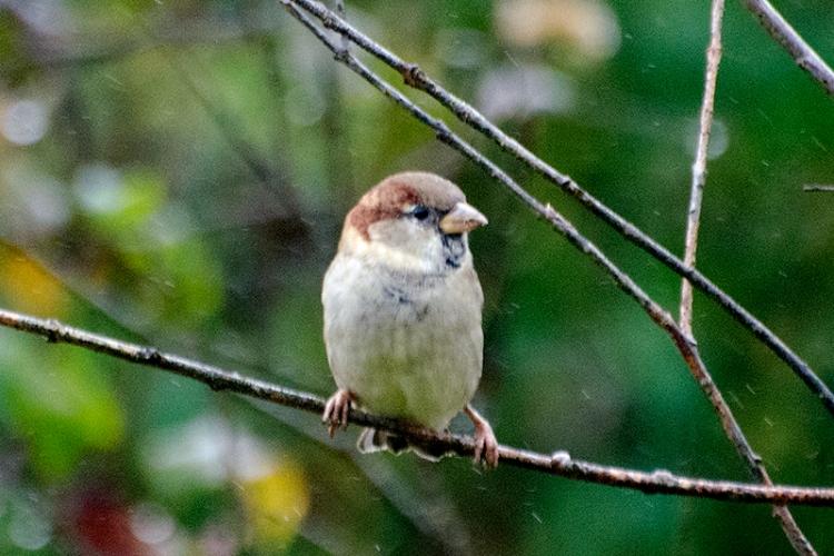 sparrow on false tree in rain