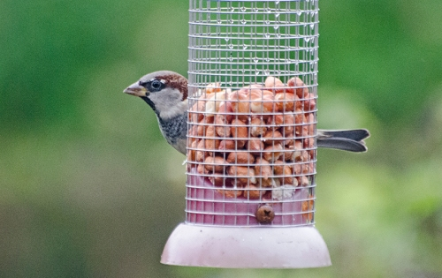 sparrow on nuts