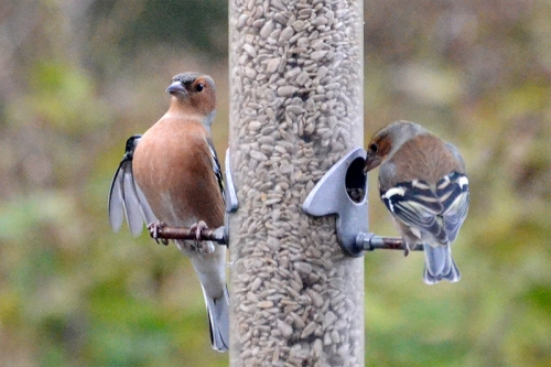 straight back chaffinch