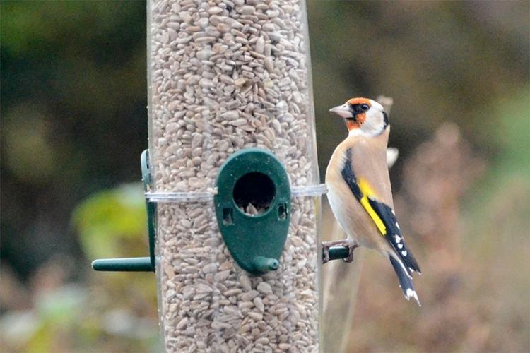 straight goldfinch
