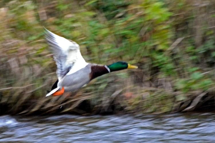 swift duck