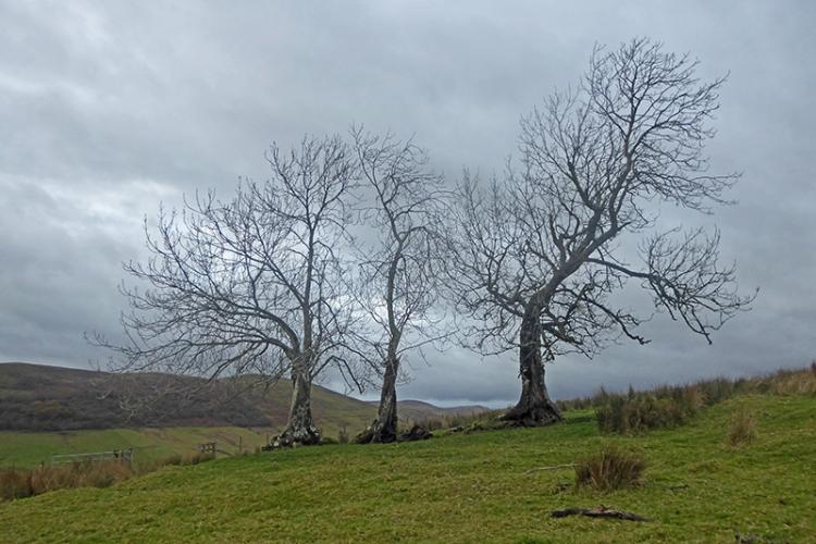 three old trees