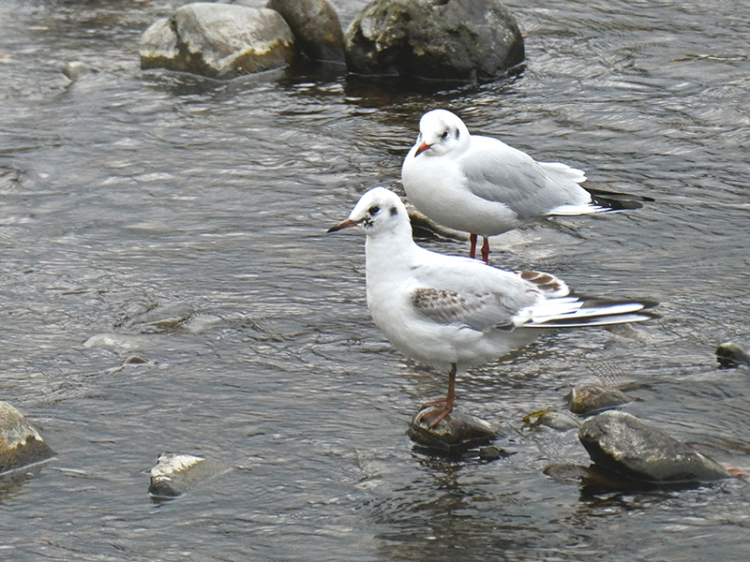 two blacxk headed gulls