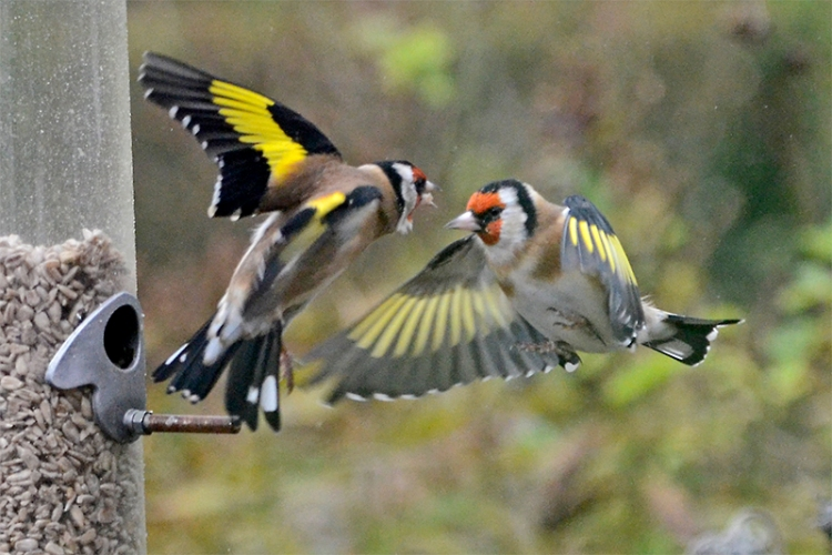 two goldfinches sparring