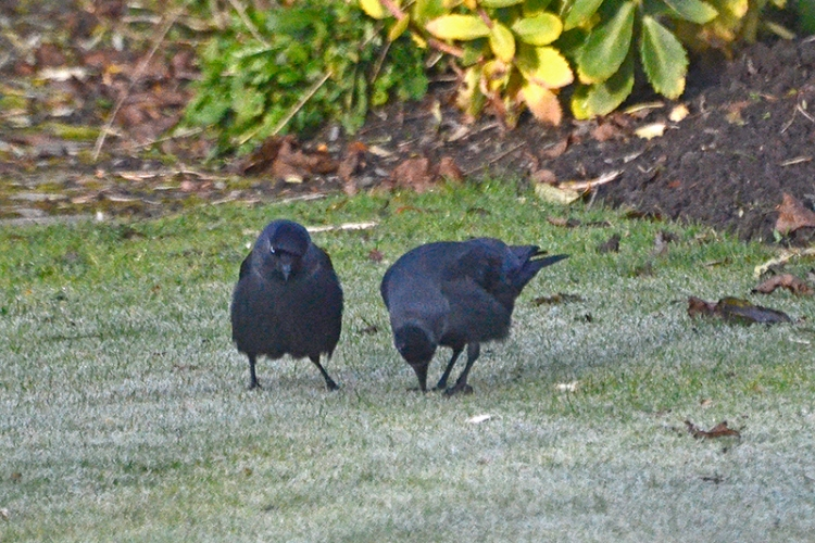 two jackdaws pecking