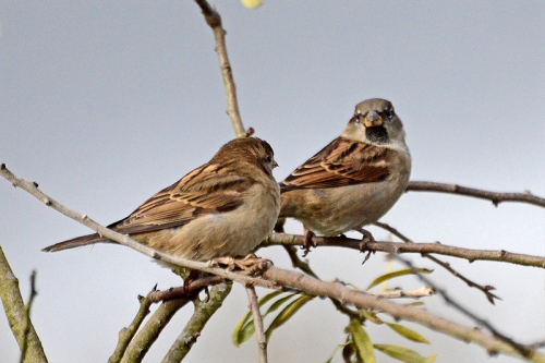two sparrows chatting