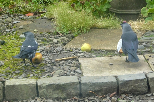 two spotty jackdaws