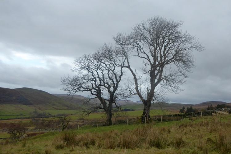 two trees whita