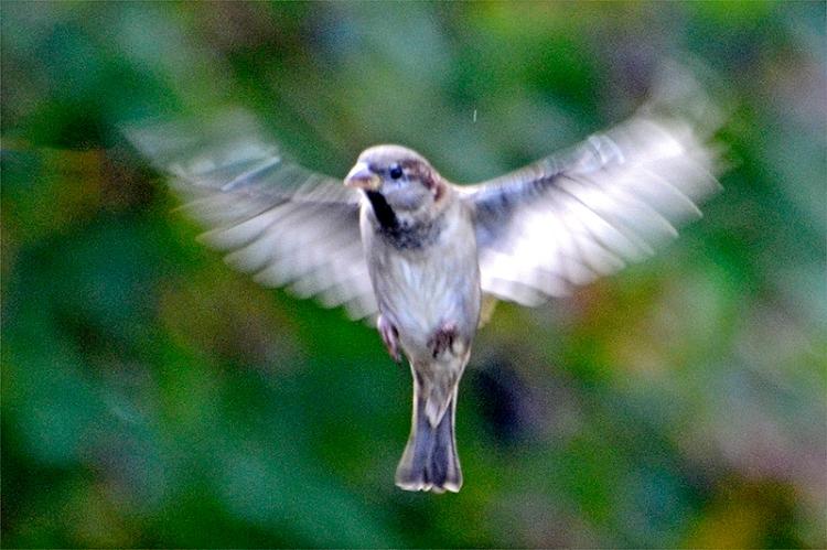 vague flying sparrow