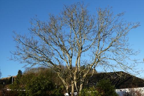 walnut tree sunny morning
