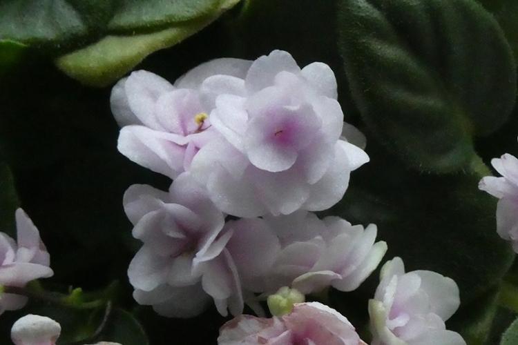 african violet december