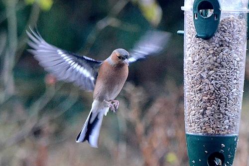 angel flying chaffinch