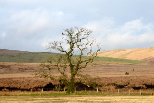 bigholms tree