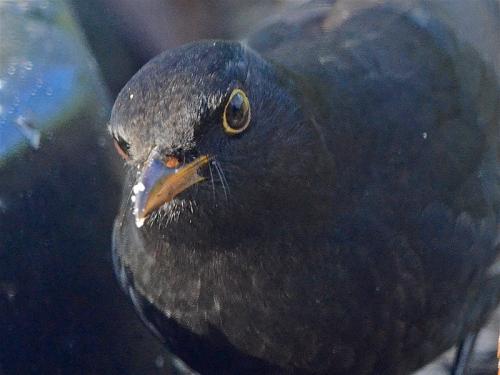 blackbird close up