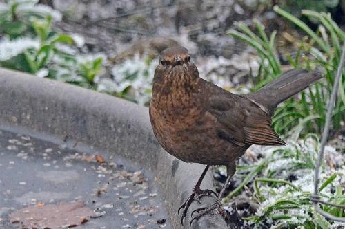 blackbird making facw